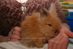 Продам декоративного мини кролика