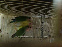 Розовощокі нерозлучники, продам папуг і пташенят