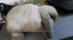 Сиамский ручной кролик