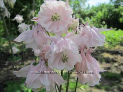 Продам саженцы аквилегии розовой водосбор