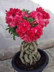 Адениум обессум - африканская роза.