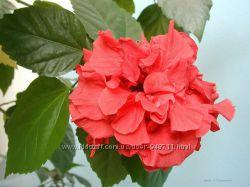 Продам гибискус комнатный красный махровый китайская роза.