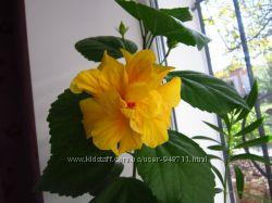 Гибискус комнатный Koenig махровый желтый с крас.  серед. китайская роза