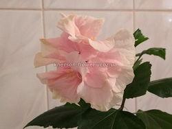 Гибискус комнатный персиковый махровый китайская роза