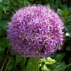 Аллиум  это многолетнее луковичное растение, цветущее весной.
