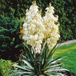 Юкка-очень красивое многолетнее растение.