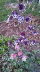 Аквилегия , орлик, цветок эльфов, водосбор