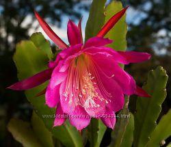 Эпифиллум , кактус-орхидея, Царица Ночи