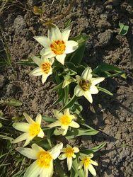 Тюльпаны бордюрные