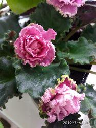 Фіалки, сенполії великі квітучі