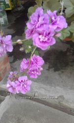 Пеларгония ампельная кустик цветущий