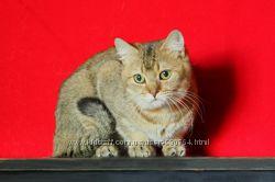 Золотой британский кот по летней цене