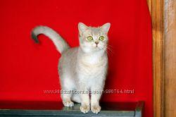 Британский кот окрас голубой золотой