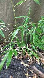 Саженцы бамбука морозостойкий