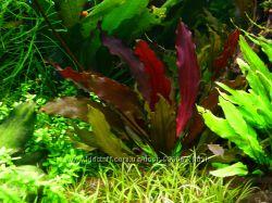 Цветущее аквариумное растение с красными листьями