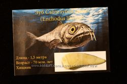 Зуб ископаемой Cаблезубой рыбы Enchodus 70 млн. лет. Коллекционный
