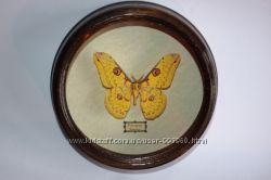 Бабочка Loepa cynopis. Индонезия. Коллекционная