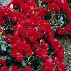 Саженцы роз почвопокровных осень 2018