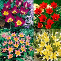 Тюльпаны миниатюрные, заботимся о красивом весеннем балконе и саду