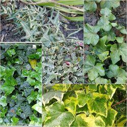 Плющ садовый вечнозелёный и  пестролистный
