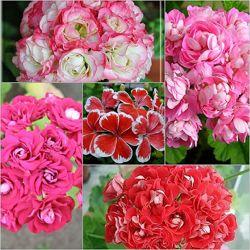 Пеларгония розебудная и другие сорта
