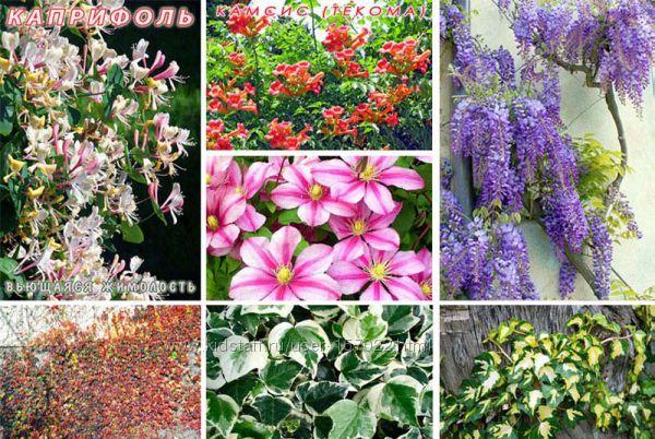 Вьющиеся растения. Глициния, Каприфоль, Текома, Плющ, Девичий виноград