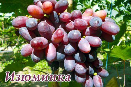 Саженцы винограда. Столовые сорта