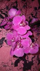 Орхидея немецкая. Розовая Мате. И малиновая Соте. Растут в земле мягкой.