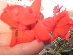 Герань пеларгония молодые кустики черенки укоренненые
