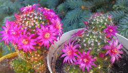 Красивые кактусы с розовыми цветочками