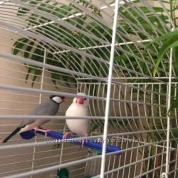 Рисовые амадины птенцы