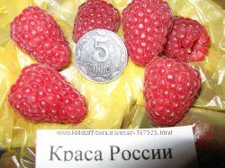 Супер-Малина, Попробовав одну - трудно остановиться. Это Краса России.