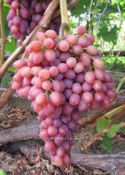 Виноград  к-ш Лучистый - мечта виноградаря