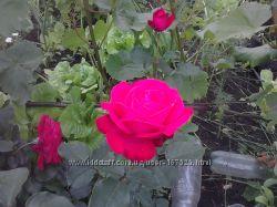 Роза саженец
