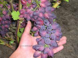 Виноград Красотка - для любителей пожевать и сладкоежек.