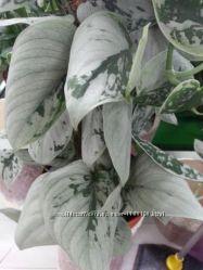 Zamioculcas black leaves ex Korea замиокулькас. тайский бархатный эпипремну