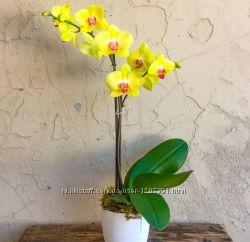 Орхидеи цветы