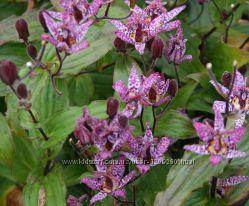 Трициртис Формосана, садовая орхидея