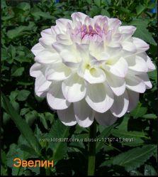 Георгин белая  Эвелина , Бронируйте на следующий год