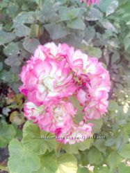 Пеларгонии сортовые Apple Blossom Rosebud  и другие сорта