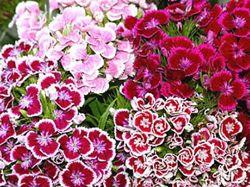 Семена многолетних цветов, наперстянка, гвоздика, лихнис, пион