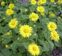 Семена цветов  ромашка жолтая однолетняя