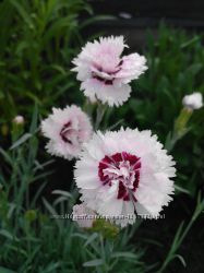 Гвоздика біла з розовою серединкою