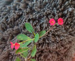 Молочай миля цветущий красным