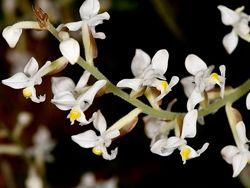 Драгоценная орхидея или Лудизия