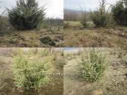 Саженцы можжевельника съедобного,  Juniperus, верес обыкновенный, куст, дер