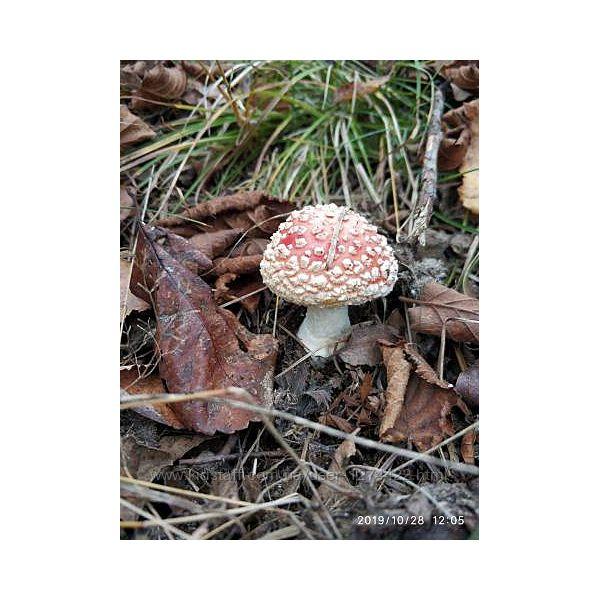 Настойка мухомора красного лат. Amanita muscaria