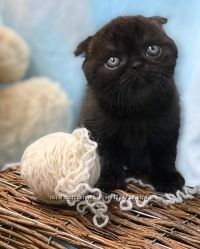 Продаю котят шотландские вислоухие