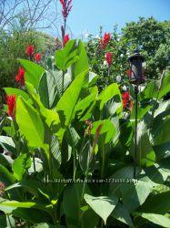 Клубни канн, цвет красный, цветок великан