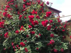 Черенки роз, красная, желтая и др.